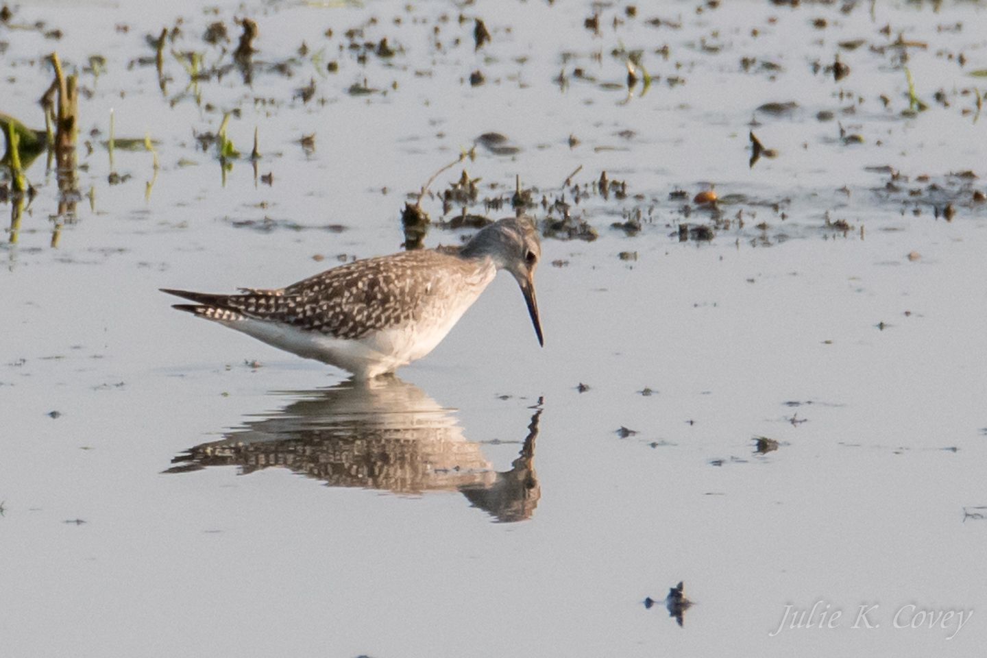 Greatr Yellowlegs July 1_4 2