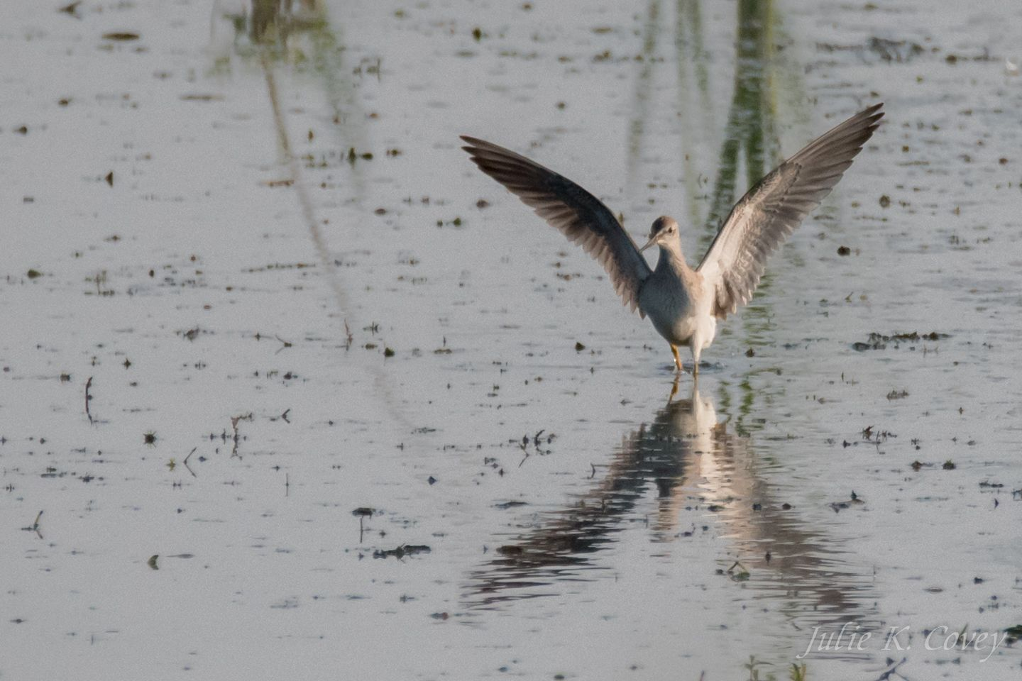 Lesser Yellowleg flying