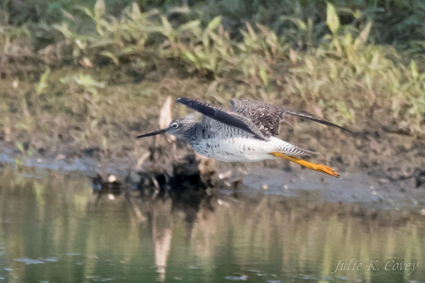Flying Greater Yellowlegs